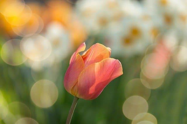 tulip-2189317_640 (1).jpg